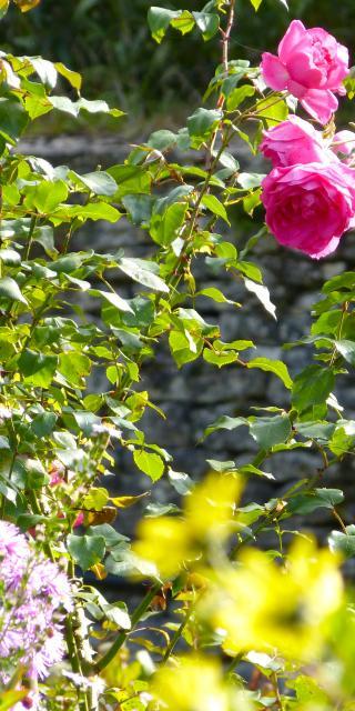 Gros plan sur des roses en fleurs